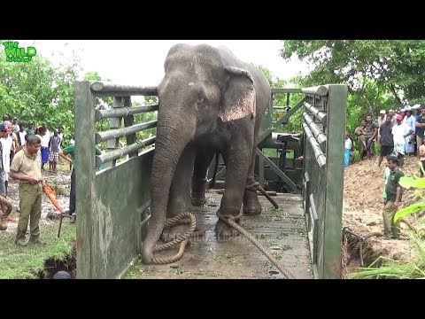 The Wildlife team to load a giant elephant into a truck to relocate