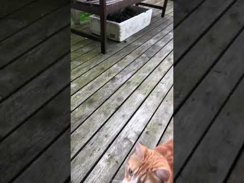 cat plays like a dog