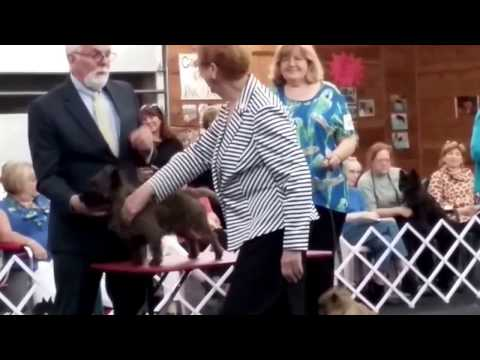 Hugo Specialty AKC Cairn Terrier Show - Friday 8/25/2017
