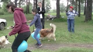 Колли и шелти конкурсы Collie and shelty contests