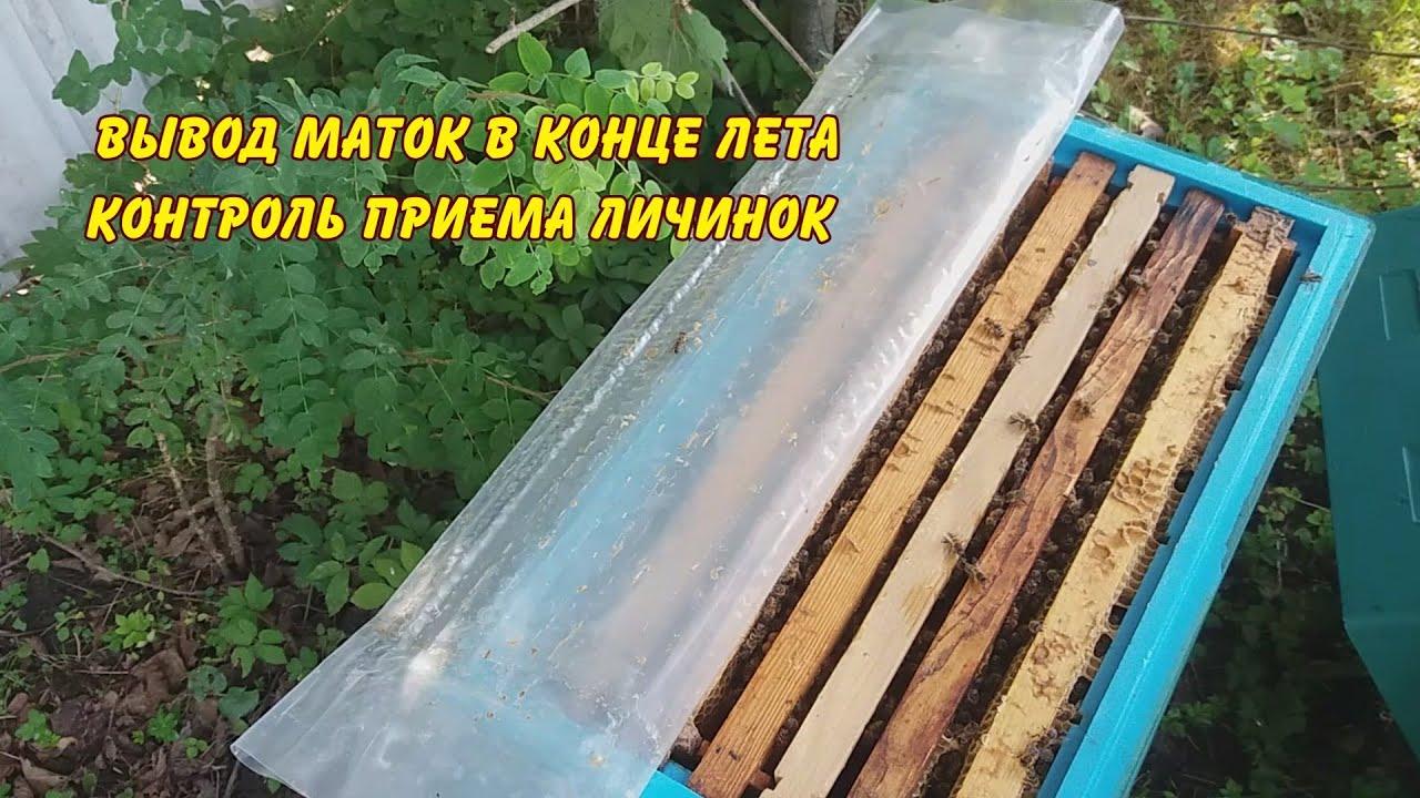 пчеловодство, вывод маток, контроль приема личинок