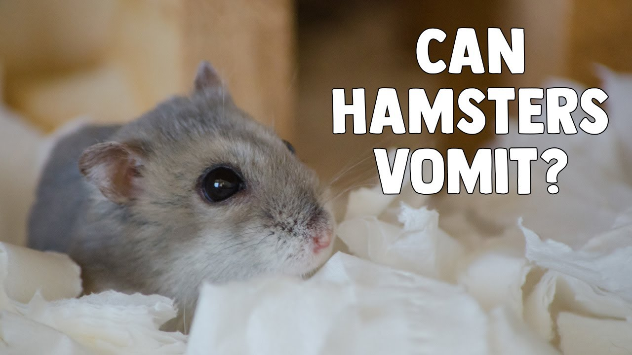 Can Hamsters Vomit? || What To Do If Your Hamster