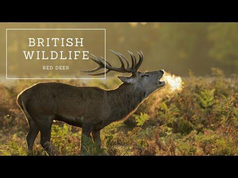 British Wildlife - Red Deer