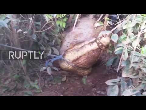 17-foot long crocodile found on tea estate in Akuressa