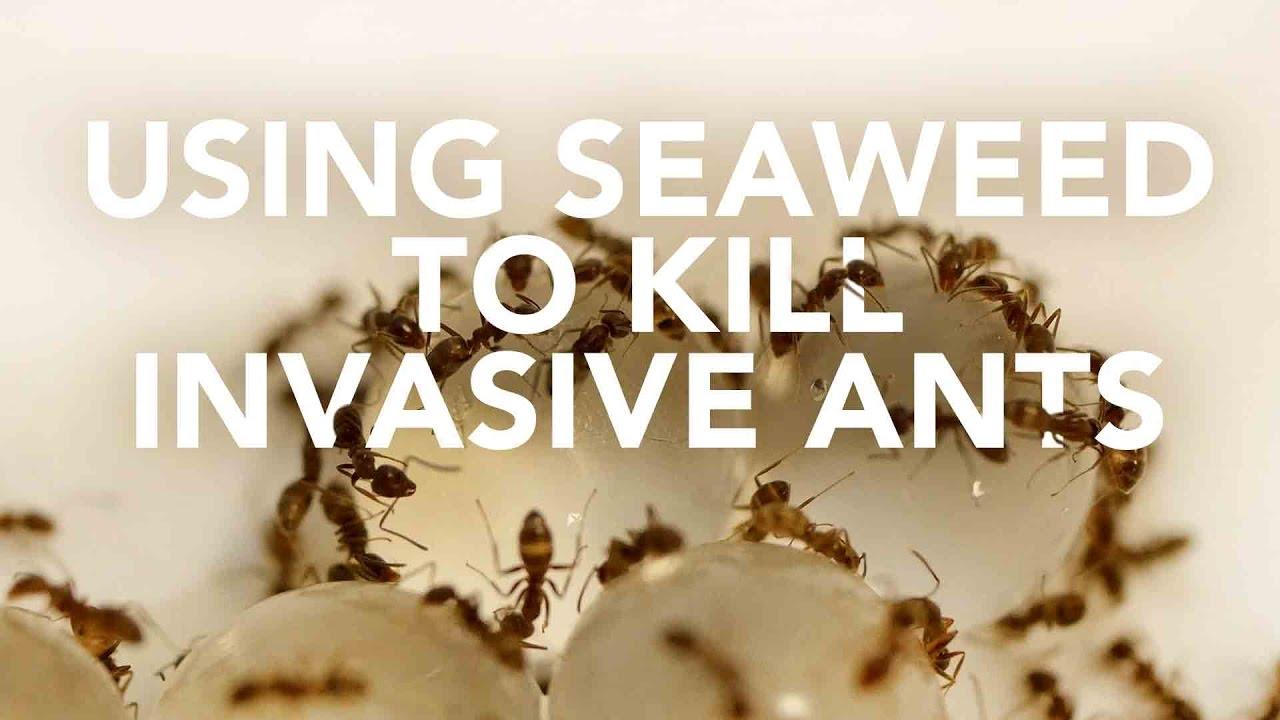 Using seaweed to kill invasive ants
