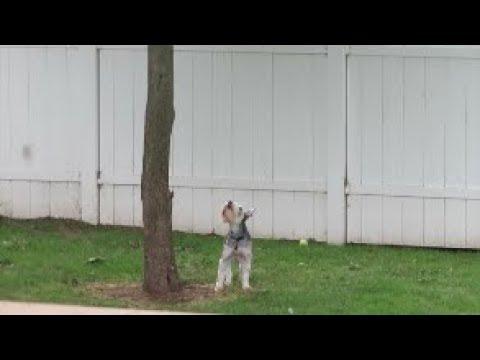 I Think They Killed Something | Schnauzer Mom Chat | Dog Mom Life