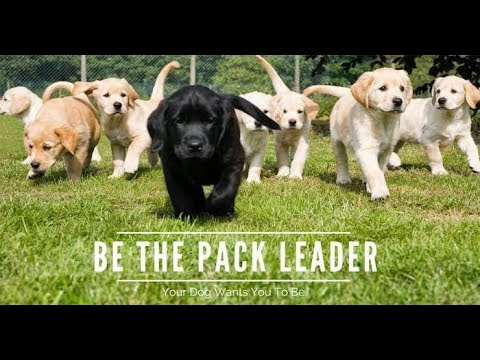 5 golden Rules of Becoming the Pack Leader - Doggy Dan