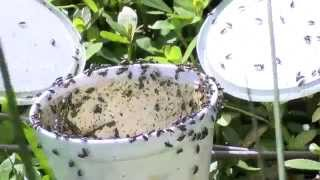 Tiny beetle helps solve big weed problem in Horry County