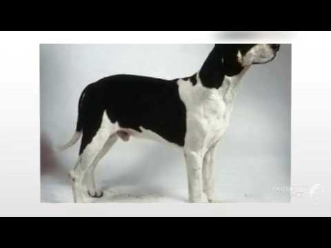 Basset Hound Dog Breed » Information, Pictures, & More  |Black And White Hound Dog