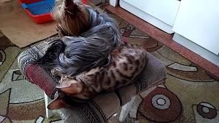 Бенгальский котенок с Йорком)