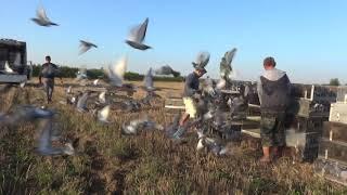 VII Lot Treningowy - WG Koziegłówki - 3115 gołębi zakoszowanych