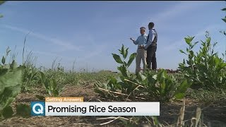 California Rice Farmers Optimistic After Wet Winter, Spring