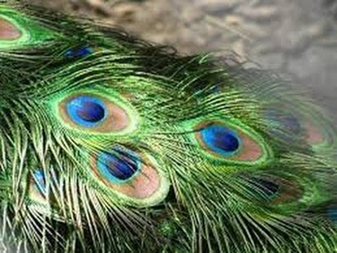 VASTU - Mor Pankh OR Peacock feather is an excellent vastu remedy