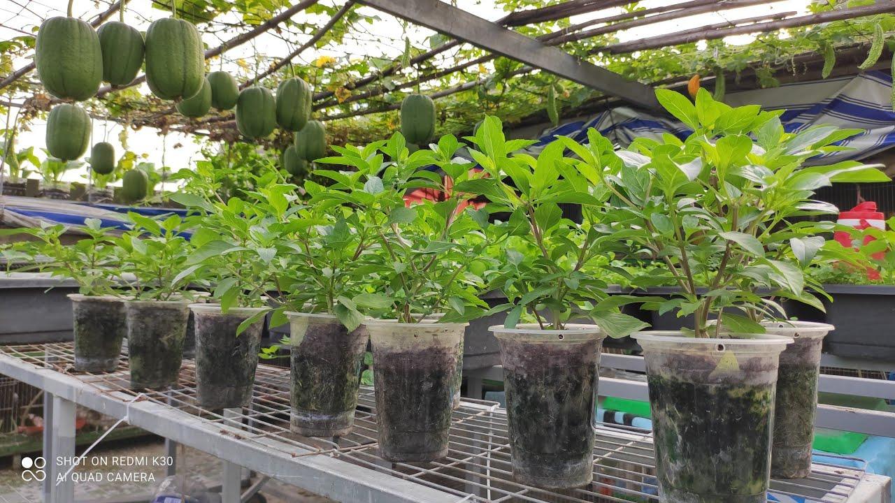 Rau Quế LY trồng bằng đọt non , cách bấm ngọn cho ra nhánh nhiều | Khoa Hien 365