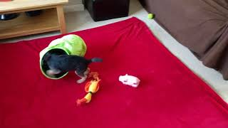 Border terrier Leeloo puppy madcap playtime.