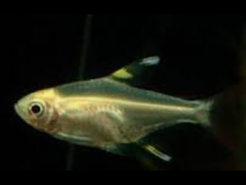 X Ray Fish -  LEARN TO READ SERIES -  Learn About X RAY TETRA FISH (with Verbal Cues)