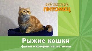 Что вы не знали о рыжих кошках? Интересные факты