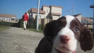 スプリンガー愛生ちゃん、52日齢。 お昼の暖かい時間、近所の公園を散歩...
