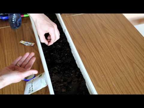 Вопрос: Посадила петрушку с огорода в горшок на зиму (см). Как спасти петрушку?