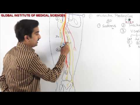 Femoral Nerve Anatomy - MBBS ANATOMY VIDEO LECTURES