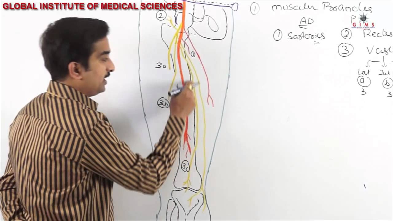 femoral nerve anatomy - mbbs anatomy video lectures - youtube, Muscles