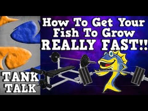 How do you get your fish to grow REALLY FAST?!?!?! Tank Talk Presented by KGTropicals!