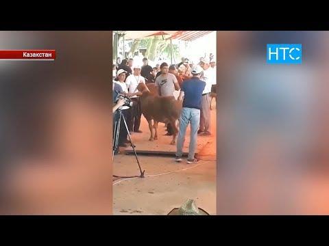 Атайын Репортаж: Асыл тукум МАЛ баккан ЖЕКЕ ишкерлер  / НТС
