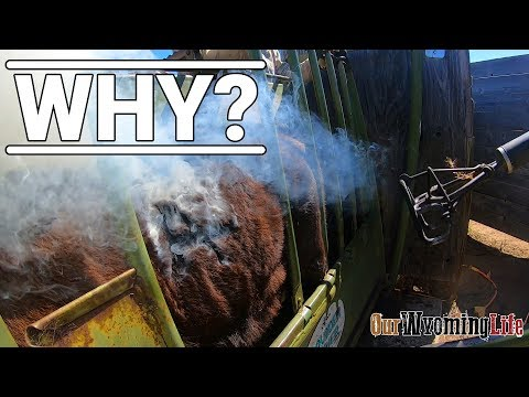 Cattle Branding - The How And The Why