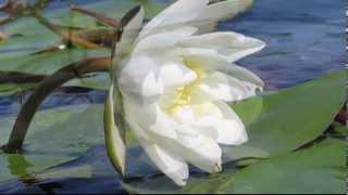 Лотос - цветок востока... Медитация