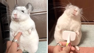 Adorable Chinchilla Loves Being Brushed
