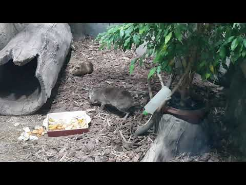 Chacoan mara attacking guinea pig