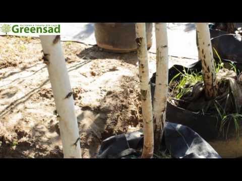 Береза обычная - видео-обзор от Greensad