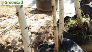 Береза обычная - видео-обзор от Greensad(Береза обычная -- это лиственное дерево является символом славянской земли. Белая кора подобна пергаменту..., 2013-10-07T19:24:57.000Z)