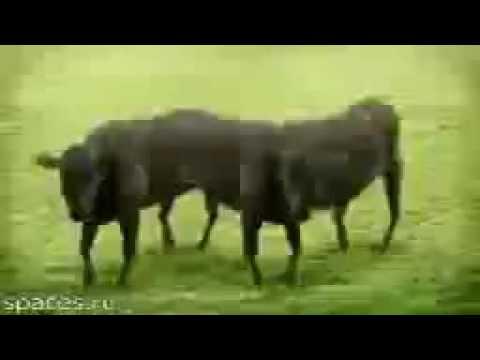 Смотреть клип Психоделика Коровы. онлайн бесплатно в качестве