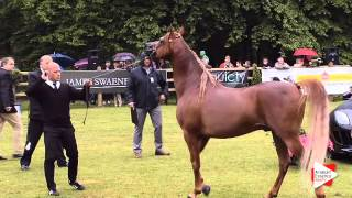 Repeat youtube video N.170 BV PIGMALION - Bruges 2015 International - Stallions 4-6 years old (Class 108A)
