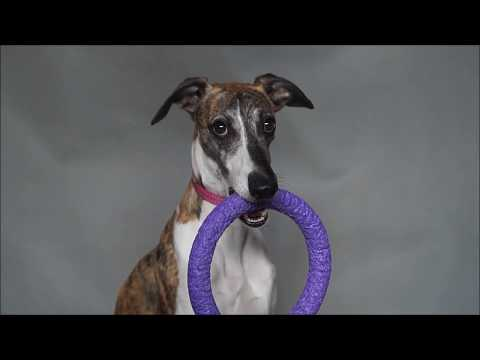 Isaac - clever whippet - tricks and fun