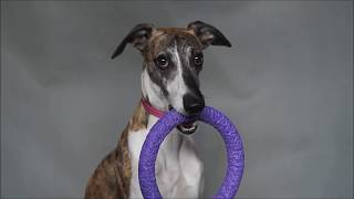 Isaac  clever whippet  tricks and fun