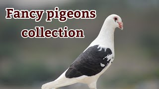 Fancy pigeons collection..