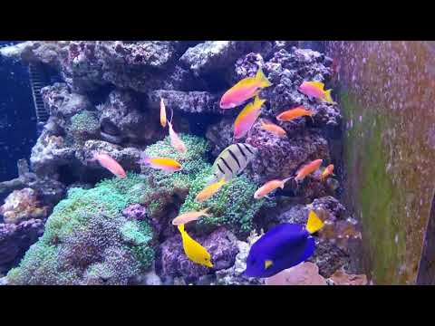 New Anthias And Angelfish In The 500 Gallon Reef!