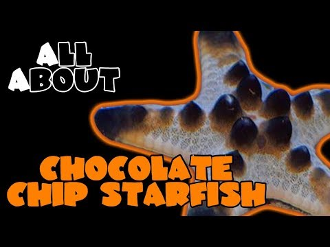 All About The Chocolate Chip Starfish