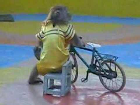 Monkey is riding a bicycle