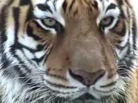 Download Predatorial Stripes - The Majestic Panthera Tigris