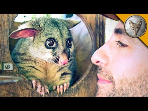 World's Cutest Possum!