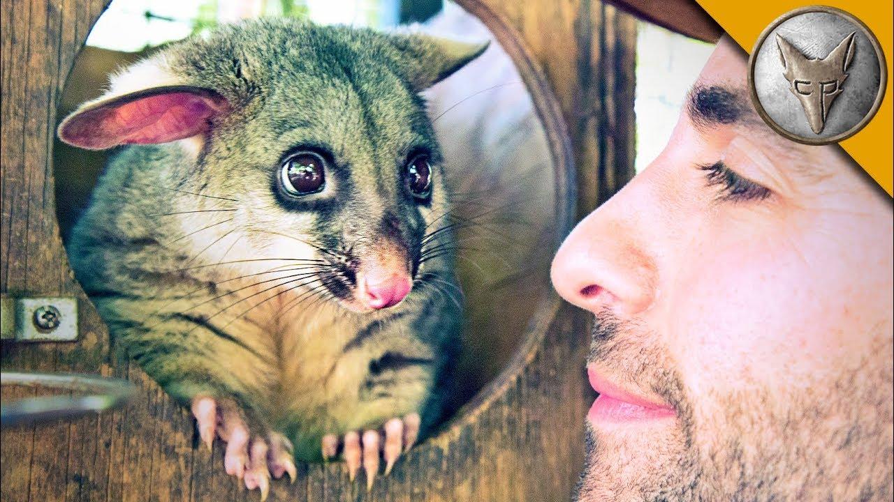 world-s-cutest-possum