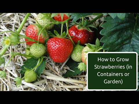 How to grow strawberries in containers, raised beds or the garden - 5 key requirements