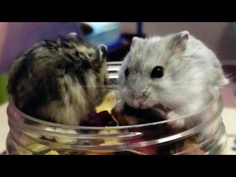 Hamster Winter White Sóc và Trắng Sọc