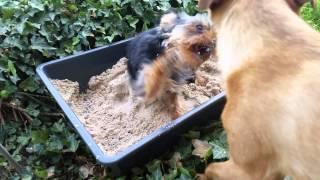 Mini Yorkshire Terrier Welpe Puppy Hund Im Sandkasten Minimi