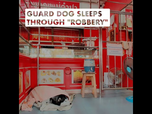 Guard Dog Sleeps Through