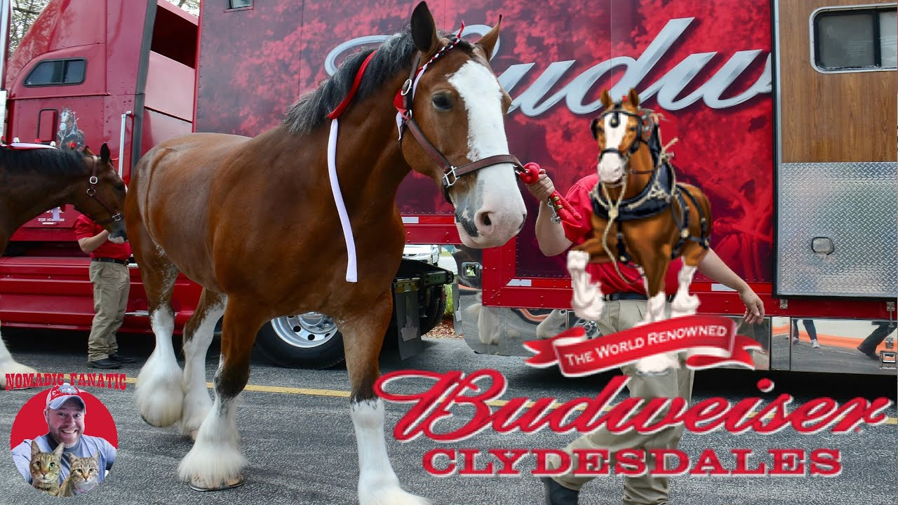 Budweiser Clydesdale Ranch ~ Breeding Foals ~ Traveling Convoy Inside Look