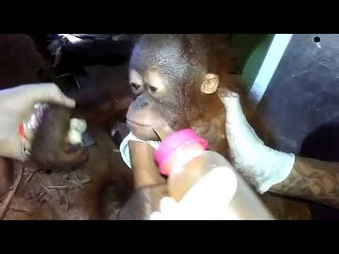 Video: Zoya, Si Bayi Orangutan